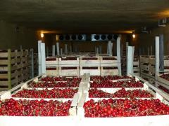 Different varieties of Cherries, Apricots OPT from 1ton