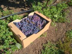Grapes on wine