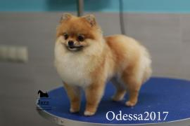 Pomeranian. The highest quality grooming. Odessa