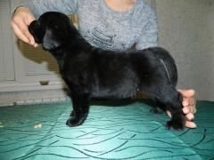 Puppies for sale Labrador Retriever